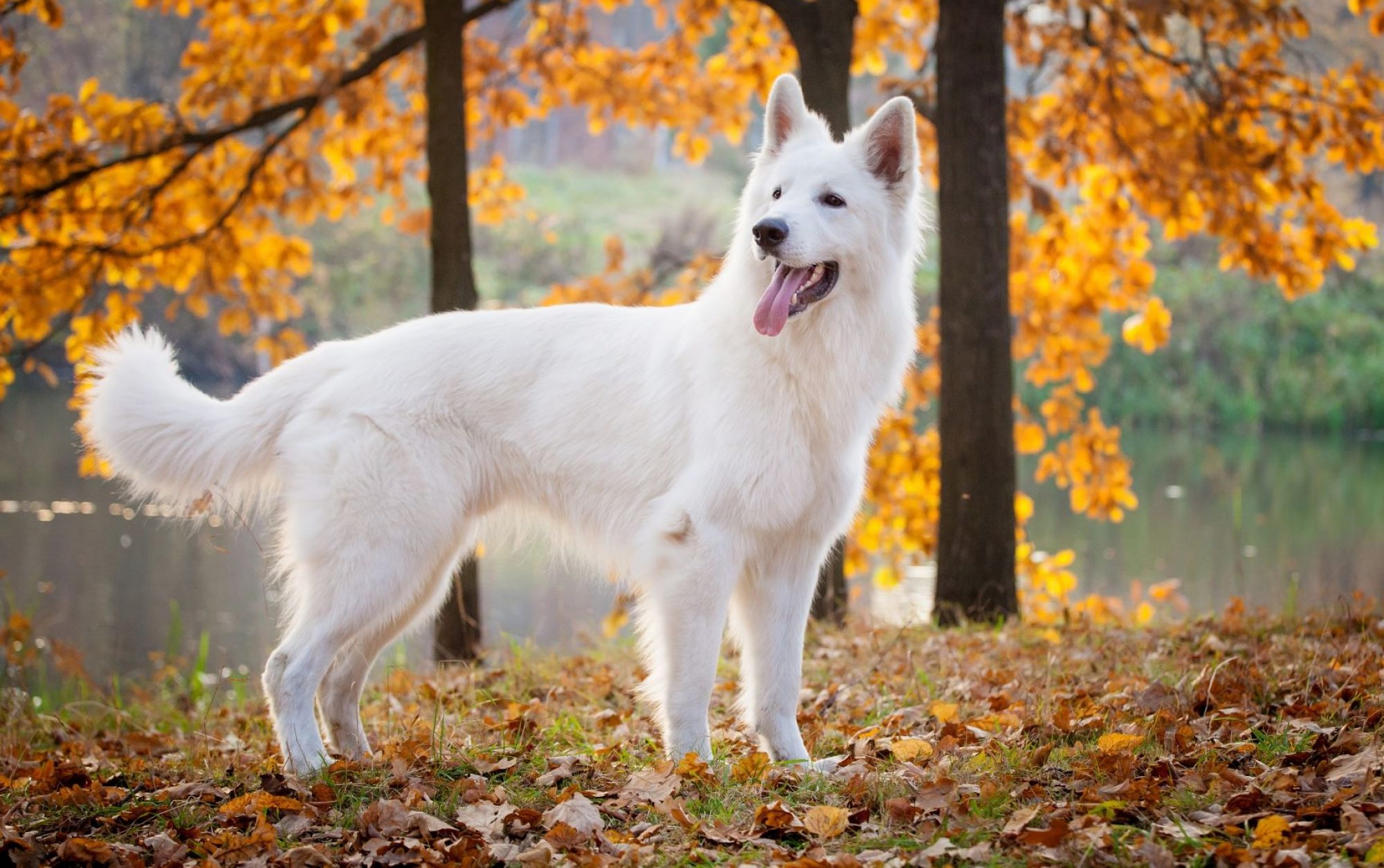 White Swiss Shepherd Dog Club of Australia Inc