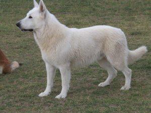 whiteshepherd.org.au