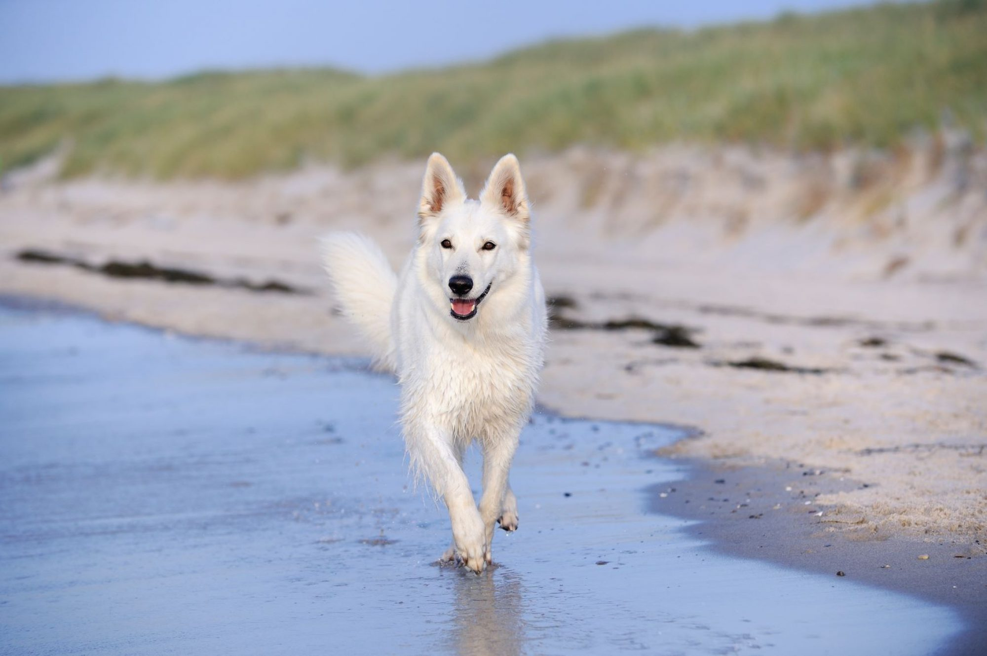 White Swiss Shepherd Dog Club of Australia Inc